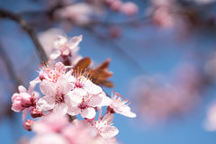 Branches of a flowering cherry Royalty Free Stock Images