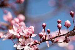Branches of a flowering cherry Stock Photo