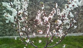 Branches of flowering cherry on the background of a gray wall. stock photography
