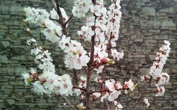 Branches of flowering cherry on the background of a gray wall. stock photos