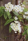 Against the background of an old wooden fence in the style of vintage stretched flowering branches of cherry Prunus Padus with. Branches of flowering cherry Royalty Free Stock Images