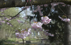 Branches of flowering cherry. Pink cherry blossoms in a garden landscape Royalty Free Stock Photography