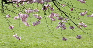 Branches of flowering cherry. Pink cherry blossoms, lawn in background Stock Photos