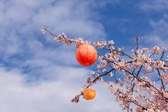 Branches of a flowering cherry tree with Japanese lanterns for the Hanami festival against a blue sky. Tree with an orange and a yellow japanese lanterns ready Royalty Free Stock Photography