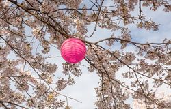 Branches of a flowering cherry tree with a pink japanese lantern for the Hanami festival against a blue sky. Tree with a pink japanese lanterns ready for Royalty Free Stock Photos
