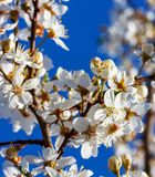 Branches of flowering fruit tree against the blue sky stock photography