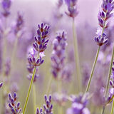 Branches of flowering lavender. Royalty Free Stock Images
