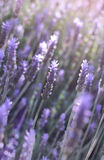 Flowers of lavender Royalty Free Stock Images