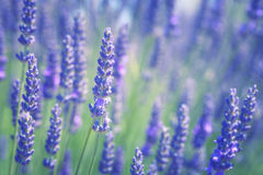 Branches of flowering lavender Stock Photography