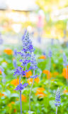 Branches of flowering lavender,close up Royalty Free Stock Photo
