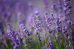 Branches of flowering lavender Stock Image