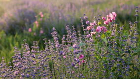 Branches of flowering lavender stock video footage