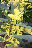 Branches of flowering mimosa longifolia Stock Images