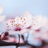 Branches of flowering plum Royalty Free Stock Photo