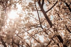 The branches of the flowering plum in the backlight. Delicate beige color. royalty free stock image