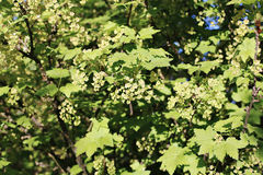Branches of flowering red currant Stock Images
