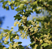 Branches of flowering red currant Stock Image