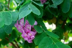 Branches of a flowering robinia tree with lilac flowers. royalty free stock images