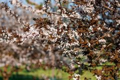 Branches of a flowering tree Royalty Free Stock Photo