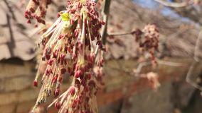 Branches of flowering trees. In the blurry background of a brick wall stock video