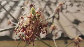 Branches of flowering trees. In the blurry background of a brick wall stock footage