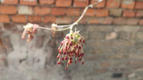 Branches of flowering trees. In the blurry background of a brick wall stock video footage