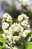 Branches of flowering white lilac Royalty Free Stock Photos