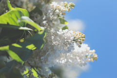 Branches of flowering white lilac Stock Images