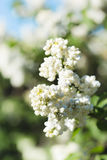 Branches of flowering white lilac Royalty Free Stock Photo