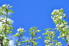 Branches with flowers of apple and leaves against the blue sky. soft focus stock photo