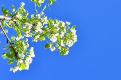 Branches with flowers of apple and leaves against the blue sky. soft focus royalty free stock photos