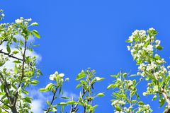 Branches with flowers of apple and leaves against the blue sky. soft focus royalty free stock image