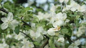 Branches with flowers of Apple trees swaying in the wind. Close up stock footage