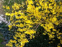 Branches with flowers of Forsythia Intermedia Spectabilis. Forsythia Intermedia Spectabilis, is a bush with small and bright yellow flowers, in the olive family royalty free stock photos