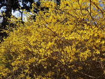 Branches with flowers of Forsythia Intermedia Spectabilis. Forsythia Intermedia Spectabilis, is a bush with small and bright yellow flowers, in the olive family royalty free stock photo