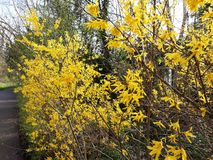 Branches with flowers of Forsythia Intermedia Spectabilis. Forsythia Intermedia Spectabilis, is a bush with small and bright yellow flowers, in the olive family royalty free stock photography