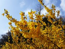 Branches with flowers of Forsythia Intermedia Spectabilis. Forsythia Intermedia Spectabilis, is a bush with small and bright yellow flowers, in the olive family royalty free stock images