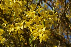 Branches with flowers of Forsythia Intermedia Spectabilis. Forsythia Intermedia Spectabilis, is a bush with small and bright yellow flowers, in the olive family stock photos