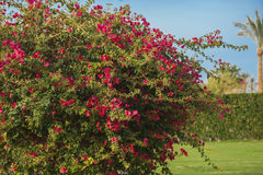 Branches of flowers pink bougainvillea Royalty Free Stock Images