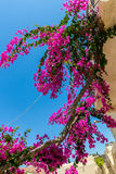 Branches of flowers pink bougainvillea bush on Balcony in street, Crete Royalty Free Stock Image