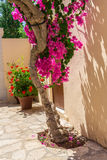 Branches of flowers pink bougainvillea bush, Crete, Greece Royalty Free Stock Photo
