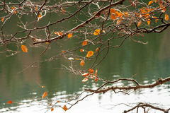 Branches with foliage on blurred background of forest lake Royalty Free Stock Photo