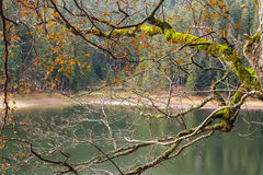 Branches with foliage on blurred background of forest lake Royalty Free Stock Photography