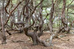 Branches in a forest. Heavily twisted branches in a forest Royalty Free Stock Photos