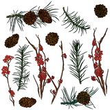 Branches from forest and pine cones. Mountain ash branches, pine cones and fir-tree branches.  Vector illustration. Typography design elements for prints, cards Royalty Free Stock Photo