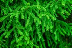 Branches fraîches vertes de sapin dans la forêt de matin image libre de droits