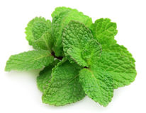 Branches of fragrant mint Stock Image