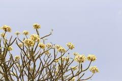 Branches of frangipani. Branches of frangipani with clear sky background Stock Photos