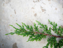 The branches of fresh green pine are placed on gray cement. stock photos