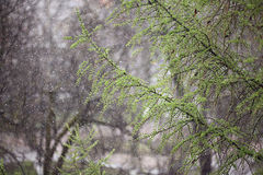 Branches of fresh leaves rain Royalty Free Stock Photography